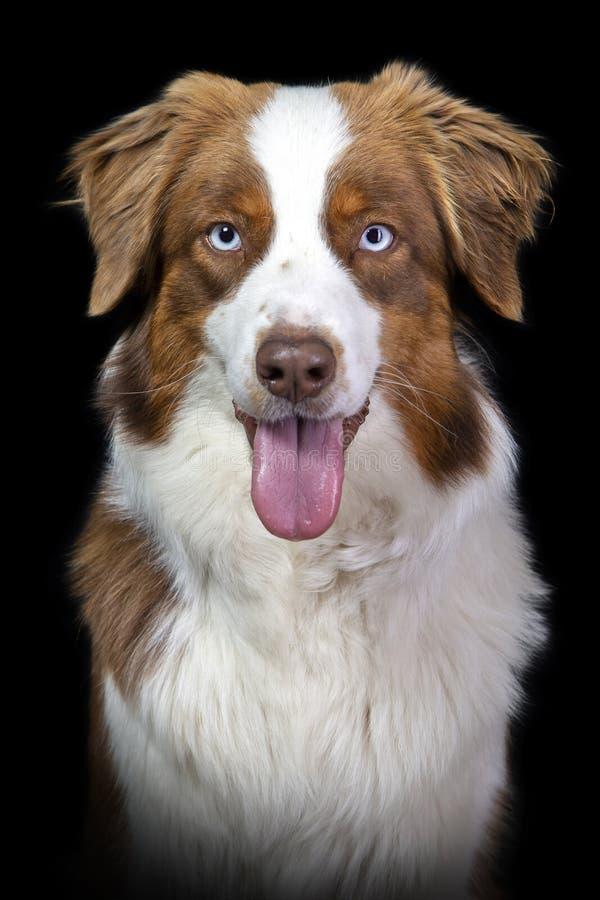Porträt eines Braun- und weißenaustralischen Schäfers stockfoto