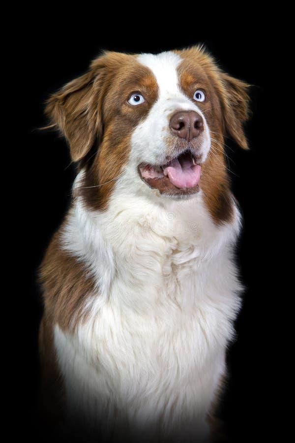 Porträt eines Braun- und weißenaustralischen Schäfers lizenzfreie stockfotografie
