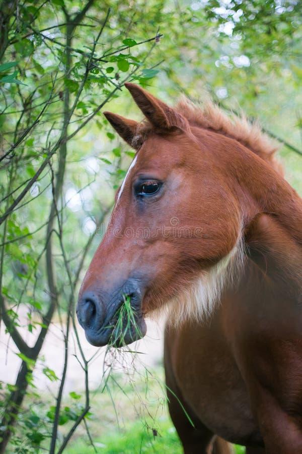 Porträt eines braunen Pferds, das ist, kauend essend und grünes Gras lizenzfreies stockbild