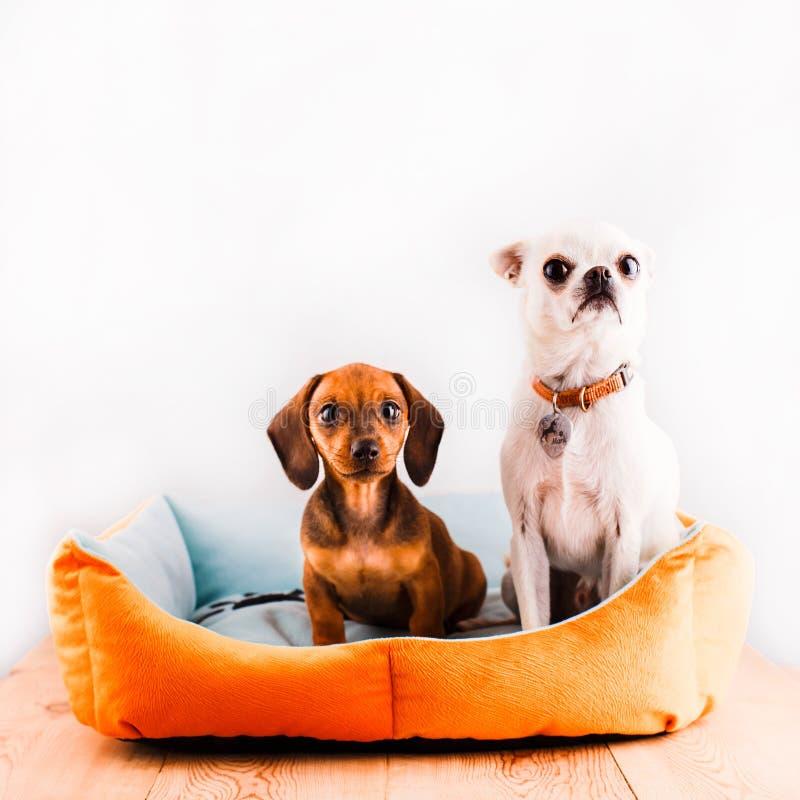 Porträt eines Dachshunds und der Chihuahua, die in einer Couch auf einem weißen Hintergrund sitzen lizenzfreie stockfotos
