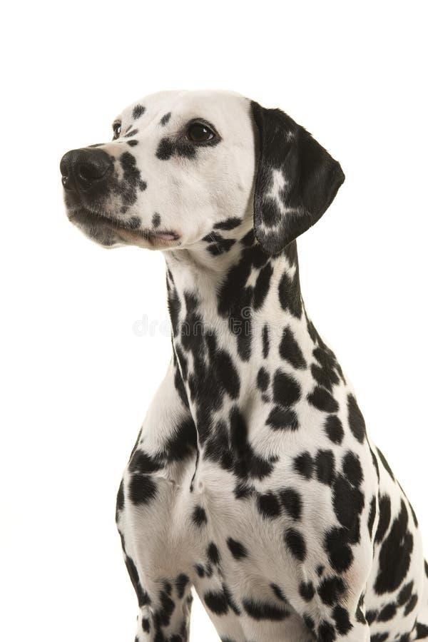 Porträt eines dalmatinischen Hundes, der weg auf einem weißen Hintergrund in einem vertikalen Bild gesehen von der Seite schaut stockbilder