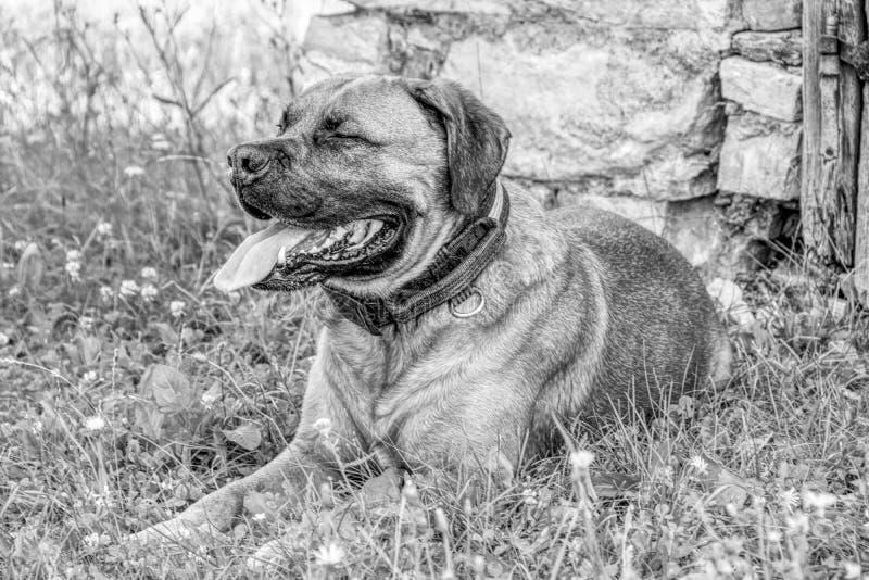 Porträt eines einsamen Schwarzweißhundes stockfotografie
