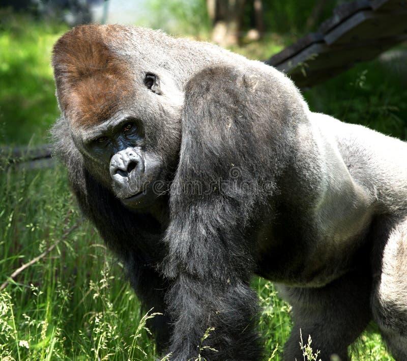 Porträt eines enormen Gorillas lizenzfreie stockfotos