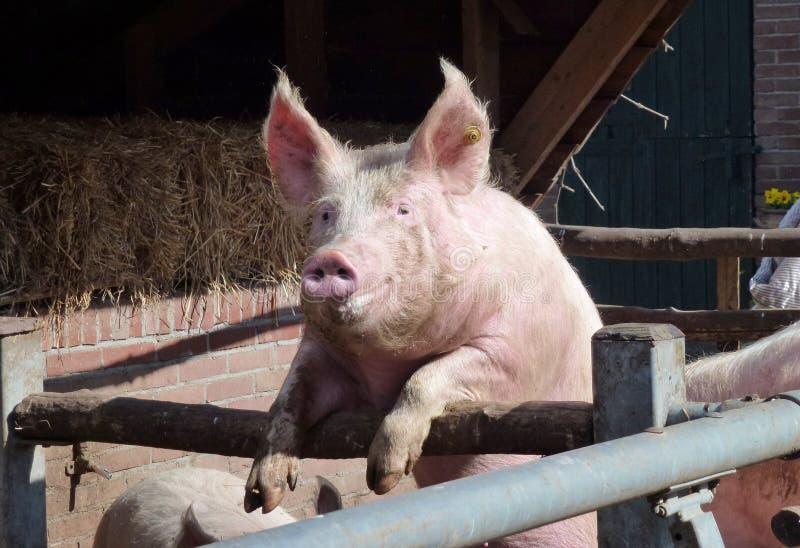 Porträt eines enthousiastic Schweins lizenzfreie stockfotografie