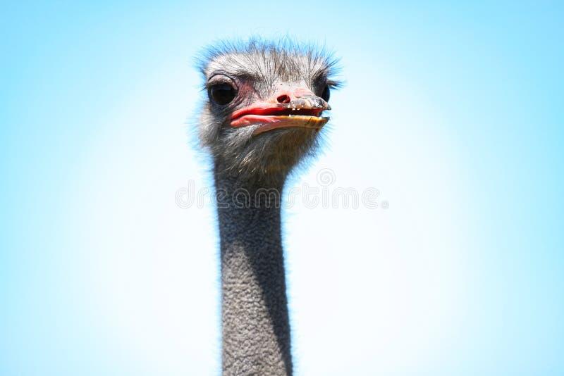 Porträt eines erwachsenen Straußvogels Nahaufnahmekopf auf dem blauen Himmel stockbild