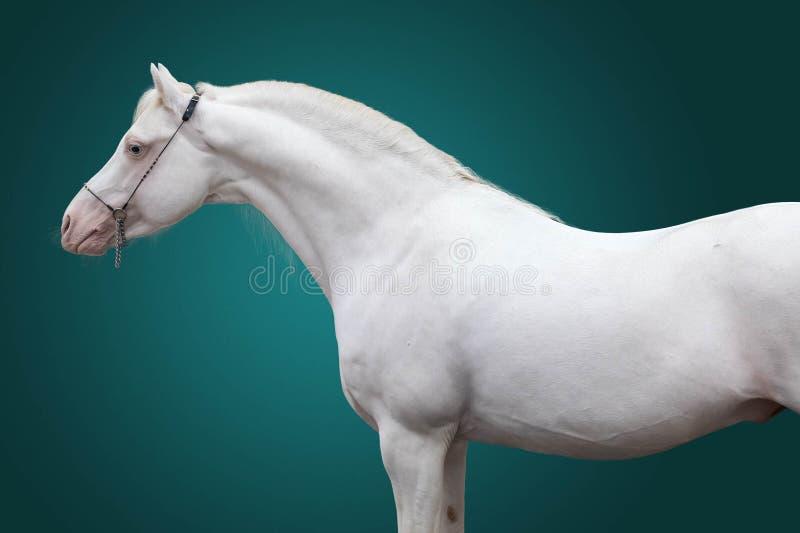 Porträt eines Hengstes von Zucht das Waliser-Pony der Reinweißfarbe auf einem grünen Hintergrund Lokalisierter Hintergrund lizenzfreie stockfotos