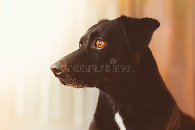 Porträt eines herrlichen und netten schwarzen Hundes Profilbild Starren und Auferlegen Konzept der Sicherheit, Mut stockfotos