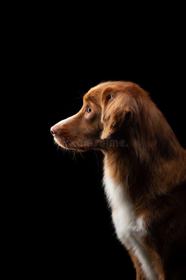 Porträt eines Hundes auf einem schwarzen Hintergrund Wenig Flusshundeprofil Haustier im Studio lizenzfreie stockfotos