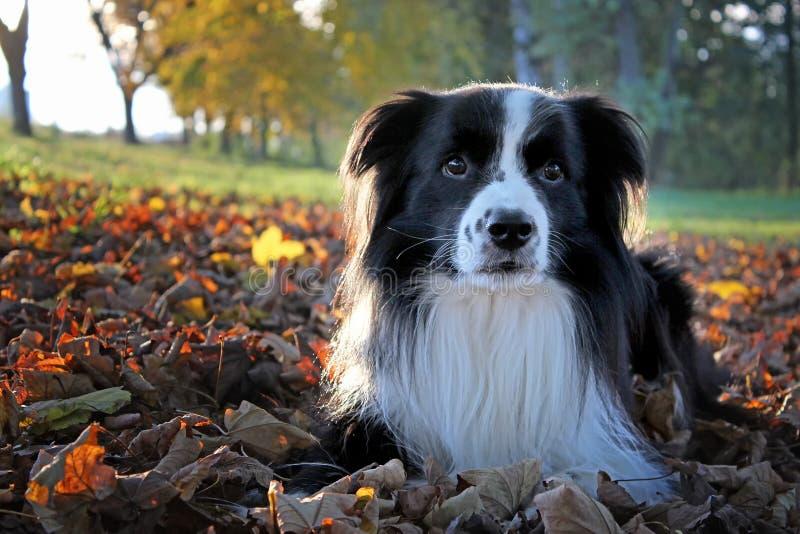 Porträt eines Hundes, der in den Fall-farbigen Blättern im Herbst liegt stockbilder