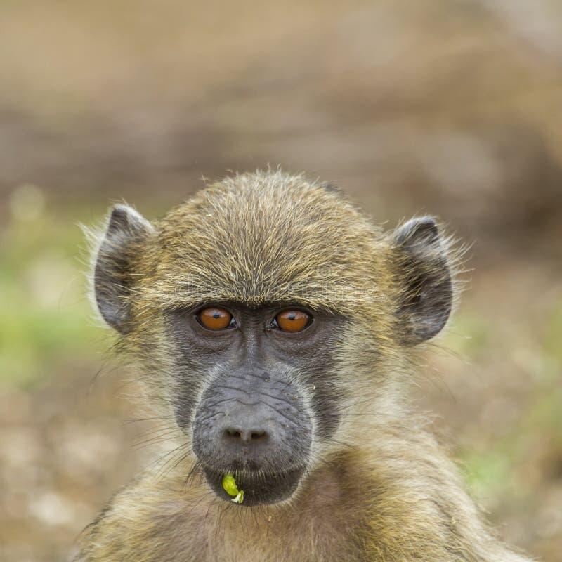 Porträt eines jungen chacma Pavians, der in seinem Lebensraum in Nationalpark Kruger spielt lizenzfreies stockfoto