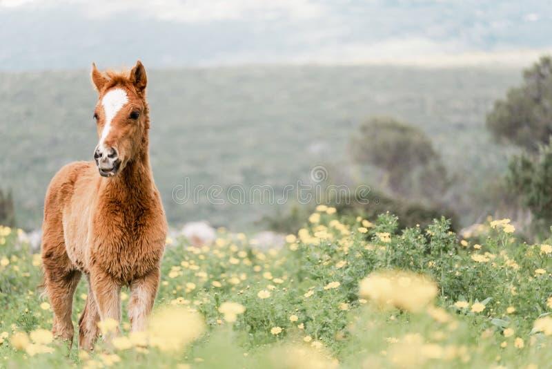 Porträt eines jungen Fohlens auf einem blühenden Gebiet stockfotografie