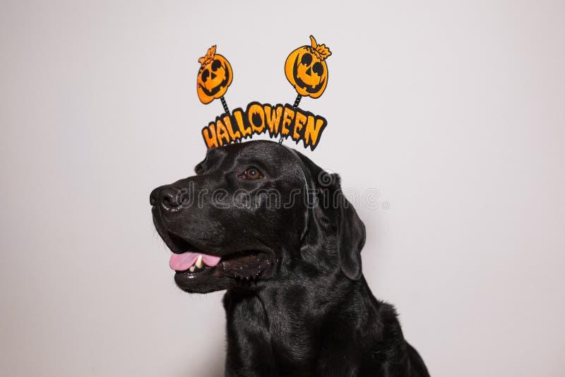 Porträt eines jungen, süßen, schönen schwarzen Labradars mit einem halloween Diadem. Weißer Hintergrund. Innere stockfotografie