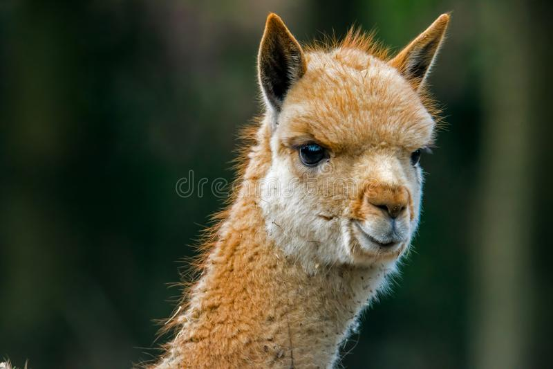 Porträt eines jungen vicuña stockfoto