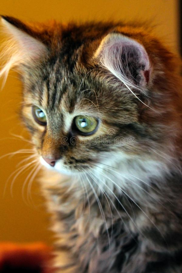 Porträt eines Kätzchens auf einem gelben Hintergrund lizenzfreie stockbilder