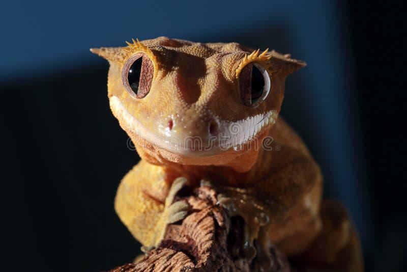 Porträt eines kaledonischen Geckos mit Haube stockfoto