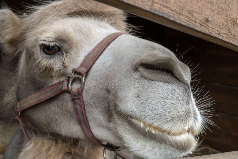 Porträt eines Kamels mit einem Zaum im Vogelhaus stockfotos