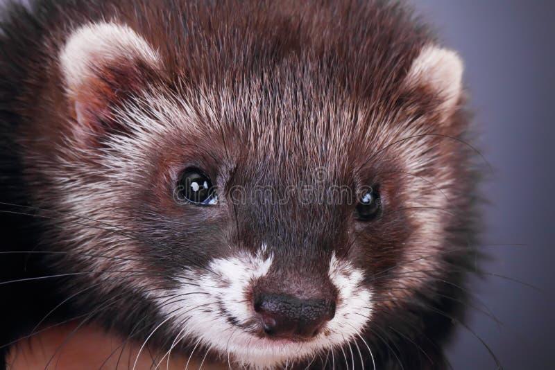 Porträt eines kleinen Frettchens stockfotos