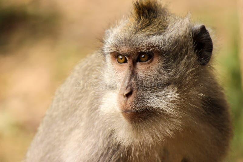 Porträt eines langschwänzigen Makakenaffen, heraus schauend stockfoto
