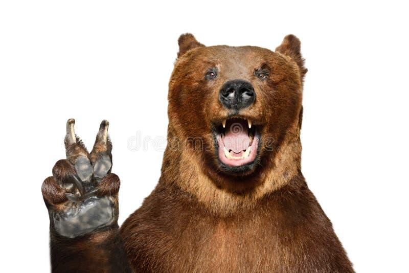 Porträt eines lustigen Braunbären, der eine Friedensgeste zeigt stockbilder