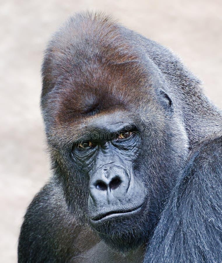 Porträt eines männlichen Gorillas lizenzfreie stockfotografie