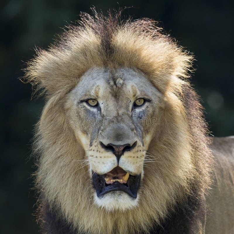 Porträt eines männlichen Löwes lizenzfreie stockfotografie
