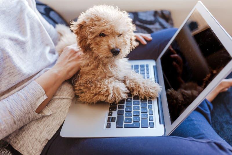 Porträt eines netten braunen Zwergpudels mit seinem Inhaber der jungen Frau zu Hause Unter Verwendung des Laptops Tages, zuhause stockbilder
