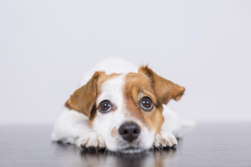 Porträt eines netten jungen kleinen Hundes, der auf dem weißen Holzfußboden liegt lizenzfreie stockfotos