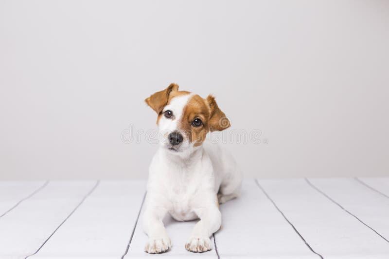 Porträt eines netten jungen kleinen Hundes, der auf dem weißen Holzfußboden liegt, die Kamera stillsteht und betrachtet Haustiere stockfotografie