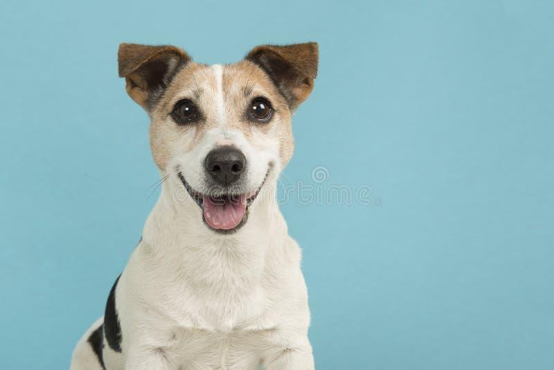 Porträt eines netten lächelnden Jack Russell-Terrierhundes auf einem blauen Hintergrund stockfoto