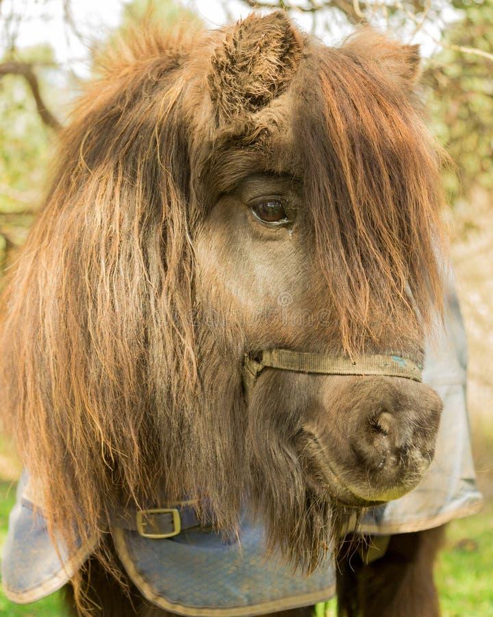 Porträt eines Ponys stockfotos