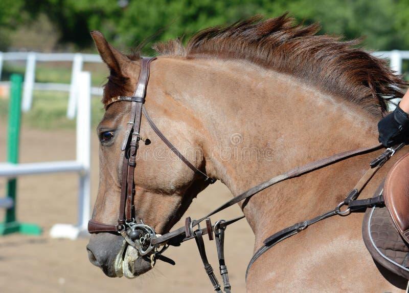 Porträt eines roten Pferds auf Galopp stockfoto