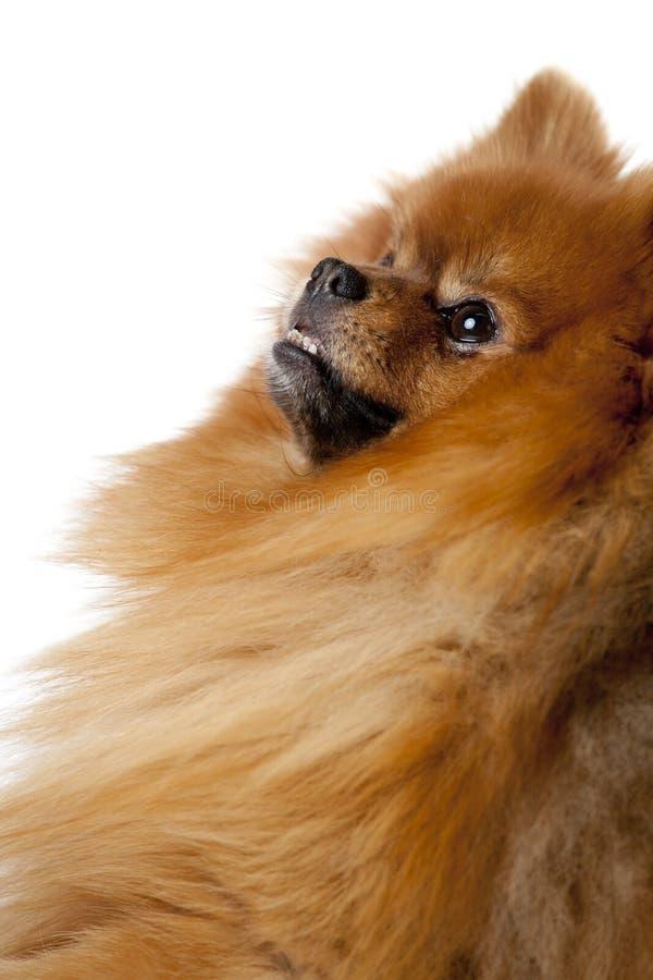 Porträt eines süßen Pommerschen Hundes lizenzfreie stockfotos