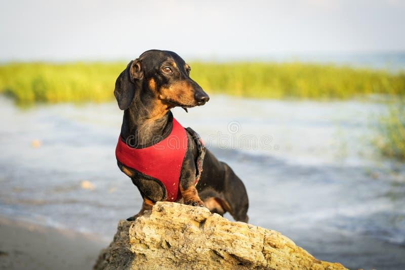 Porträt eines schönen Dachshundhundes in einem roten Westengeschirr, das auf einem Stein auf dem Strand im Sommer bei Sonnenunter stockfoto