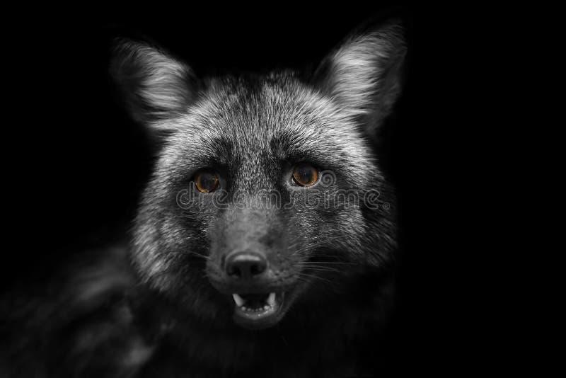 Porträt eines schwarzen Fox mit gelben Augen im Schwarzweiss-Format lizenzfreie stockbilder