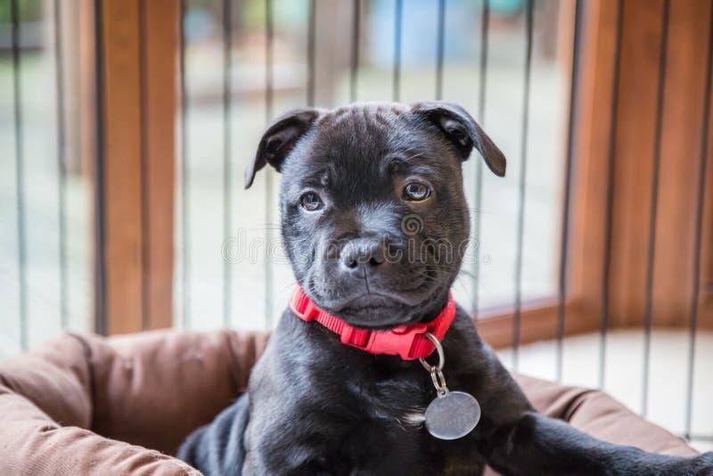 Porträt eines schwarzen Staffordshire-Bullterrierwelpen stockfotos