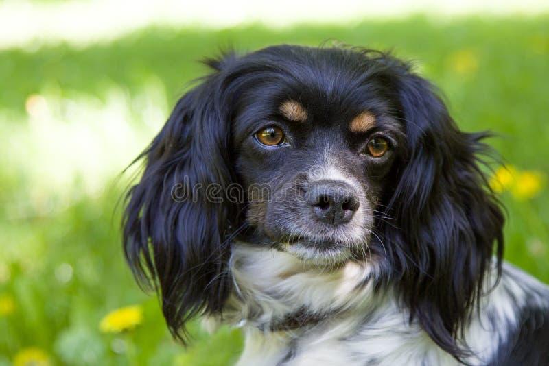 Porträt eines Schwarzweiss-Hundes mit den langen Ohren unter Löwenzahn stockfoto