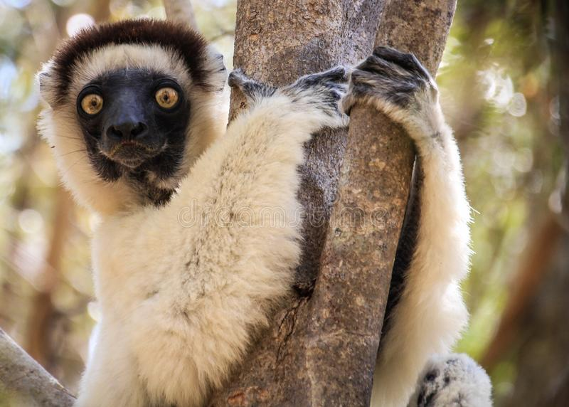 Porträt eines Sifaka-Makis, der auf einem Baum, Kirindy-Wald, Menabe, Madagaskar stillsteht stockfotos