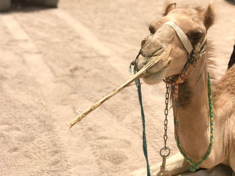 Porträt eines stillstehenden schönen Kamels der zweihöckrigen gelben Wüste mit Geschirr, das Stroh auf dem Sand in der Ägypten-Ab stockfotografie