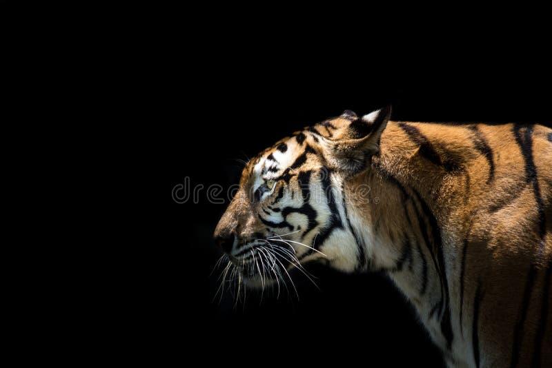 Porträt eines Tigeralarms und -c$anstarrens entlang der Kamera lizenzfreie stockfotografie