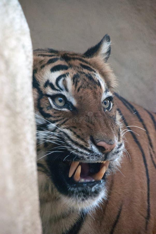 Porträt eines Tigers, der an etwas knurrt stockfoto