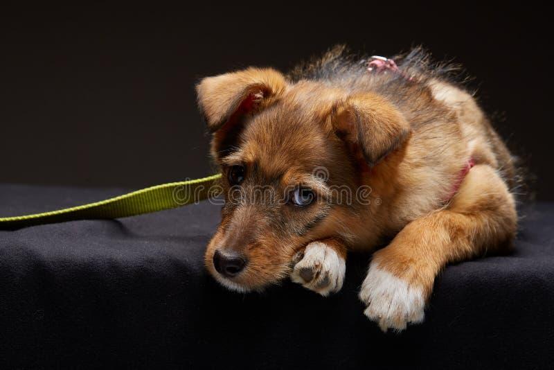 Porträt eines traurigen Welpen auf einem dunklen Hintergrund des Studios, selektiver Fokus, Nahaufnahme lizenzfreies stockbild