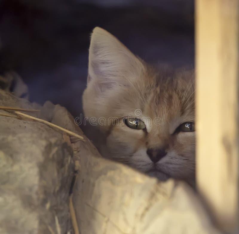 Porträt eines Turkestan-sandcat lizenzfreies stockfoto