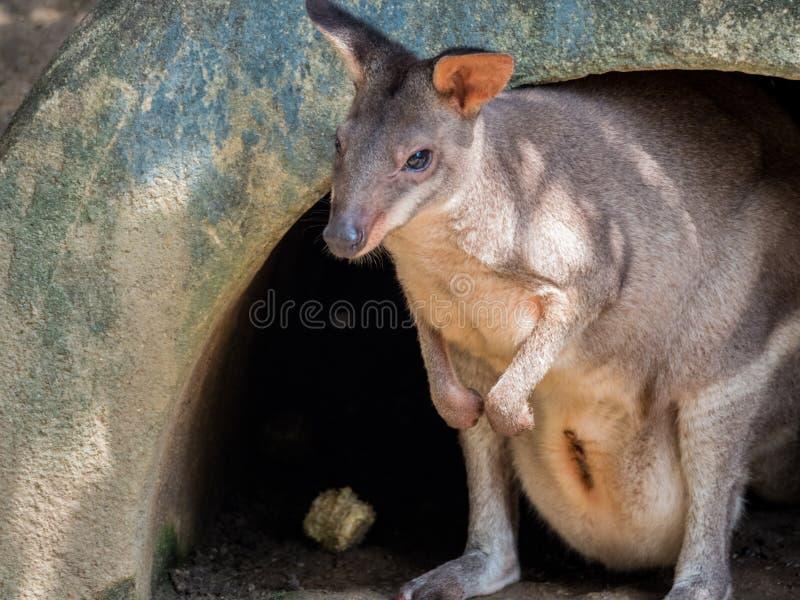 Porträt eines Wallabys stockbilder