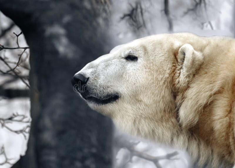 Porträt eines Weiß betreffen einen Waldhintergrund, bewölkt Eisbär ` s Kopf nah an dem Profil lizenzfreie stockfotografie