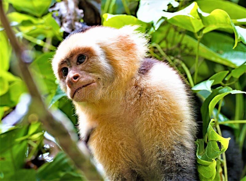 Porträt eines weißen Cappuchin-Affen, in Manuel Antonio National Park, Costa Rica stockfotografie