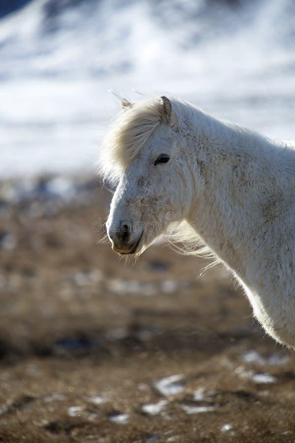 Porträt eines weißen isländischen Pferds in der Winterlandschaft stockfotografie