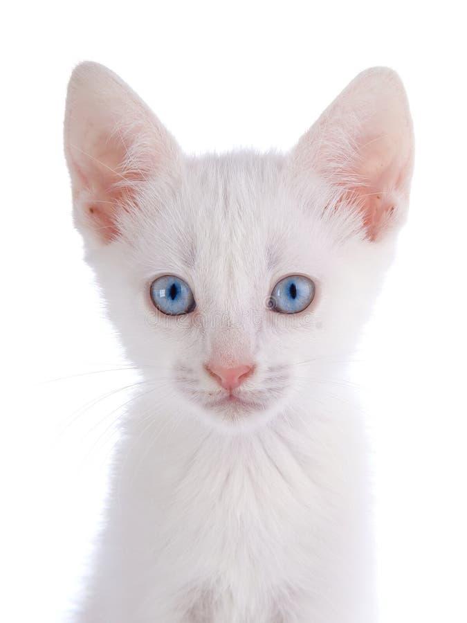 Porträt eines weißen Kätzchens mit blauen Augen. lizenzfreies stockfoto