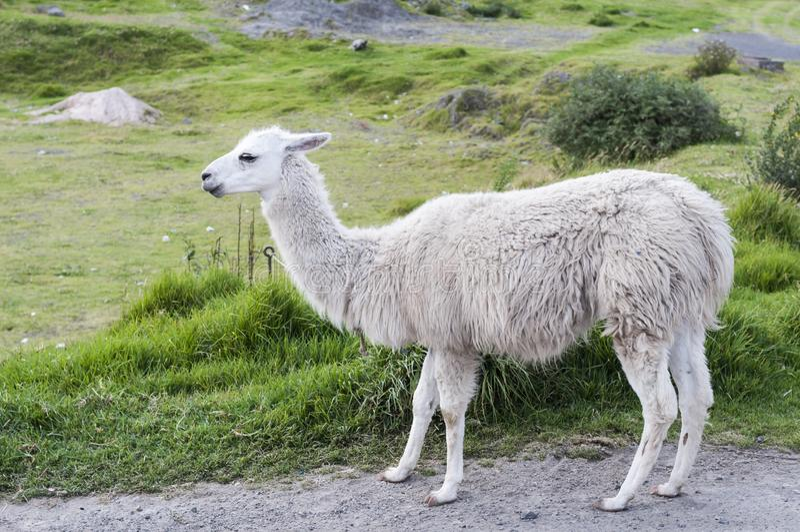 Porträt eines weißen Lama Lama glama lizenzfreies stockbild