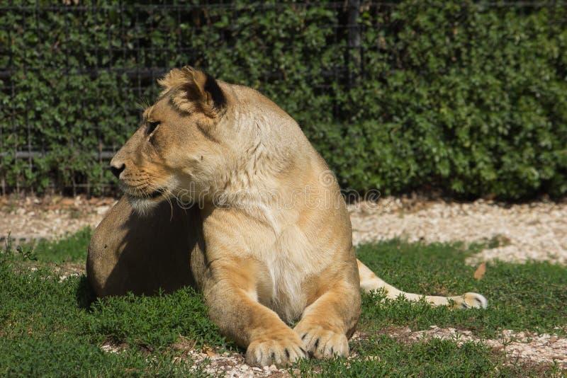 Porträt eines weiblichen Löwes lizenzfreie stockfotos