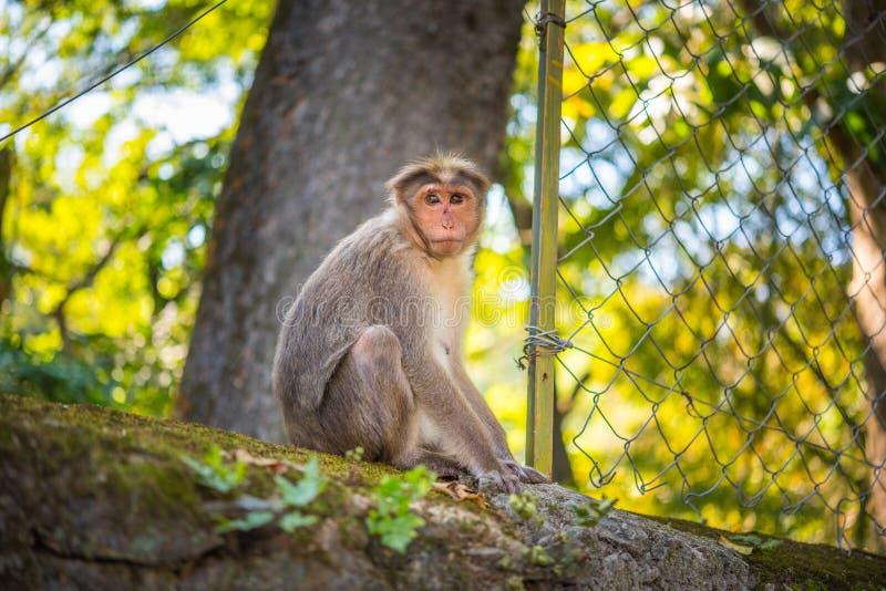 Porträt eines weiblichen Makakens (Macaca radiata) stockfotografie